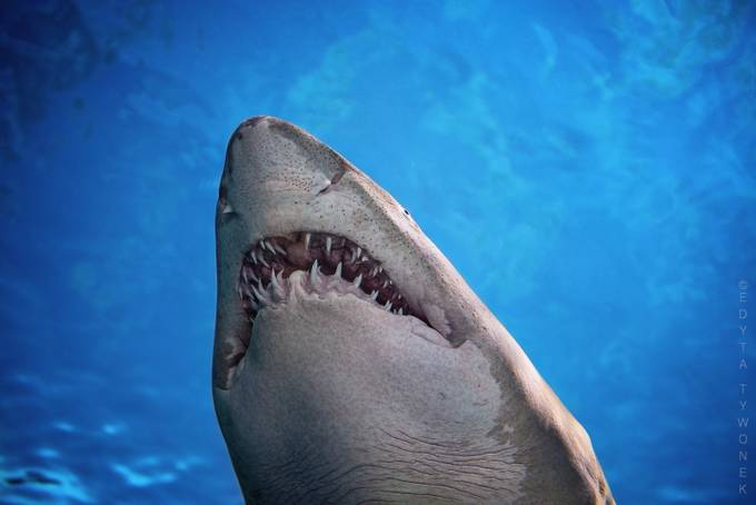 Sand Tiger Shark by EdytaTywonek - Covers Photo Contest Vol 43