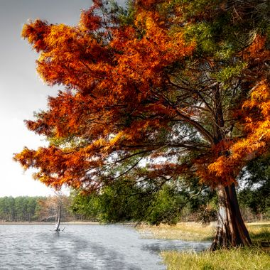 Tree Ablaze