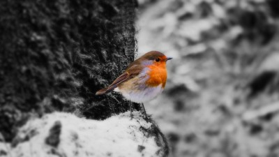 Little winter robin.