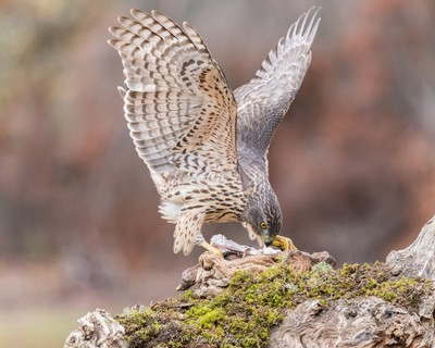 young goshawk having breakfast!