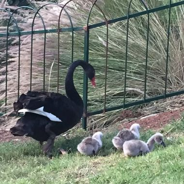 A mother swan (pen) and her babies (cygnets) at the Jerusalem Zoo, Israel, came out of a pond and came up along the grass for supper.
