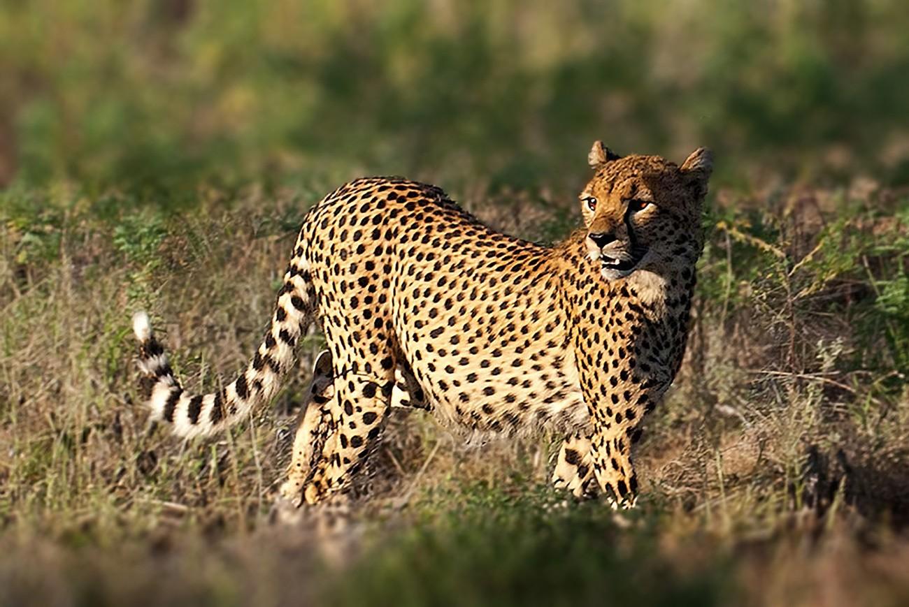 Standing tall in the morning sunlight at the Samburu Preserve, Kenya.