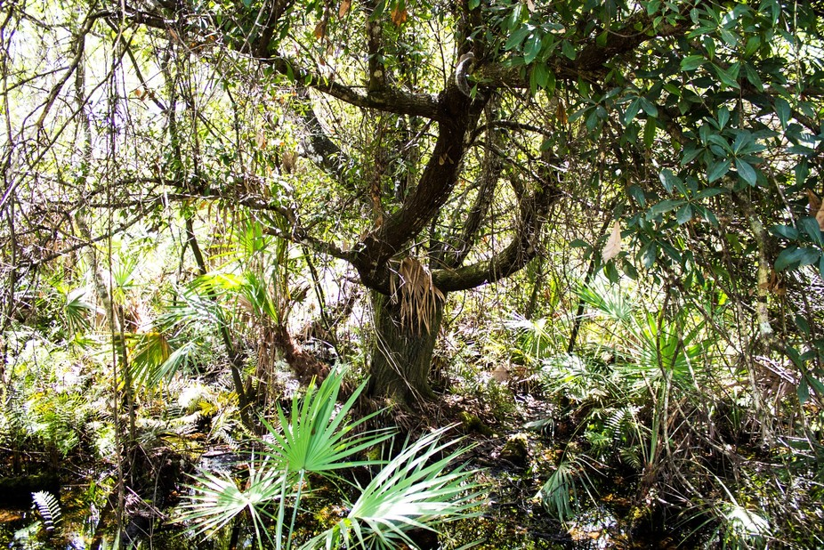 Tree in the Everglades