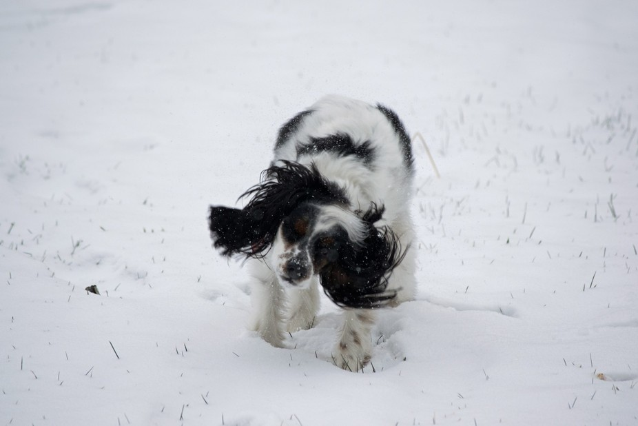 Dog shaking off in the snow while running.