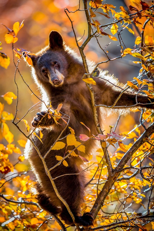 Dancing Bear by CurtPeters - Bears Photo Contest