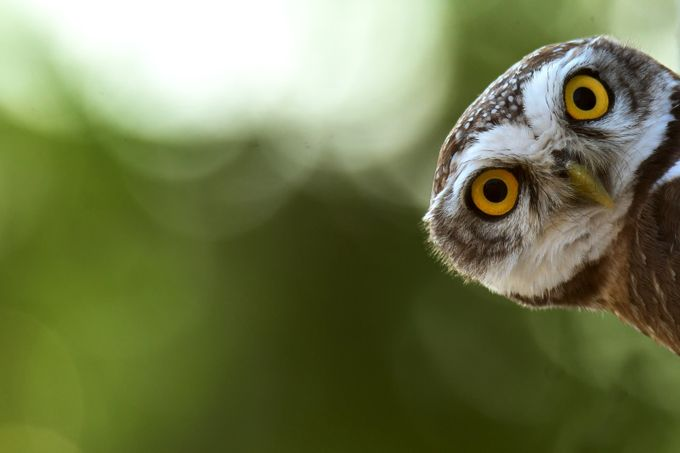 Spotted Owlet by avkash - Social Exposure Photo Contest Vol 13