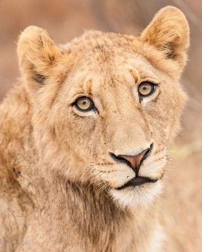Lion Cub. Kruger National Park.