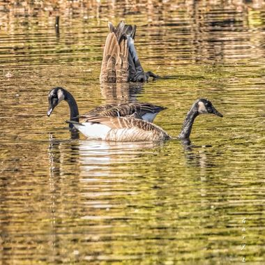 Canada Geese synchronized swimming in New Hampshire.