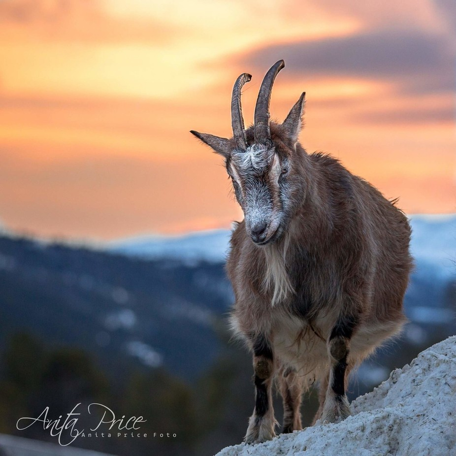 Mountain goat by anitaprice - Monthly Pro Vol 38 Photo Contest