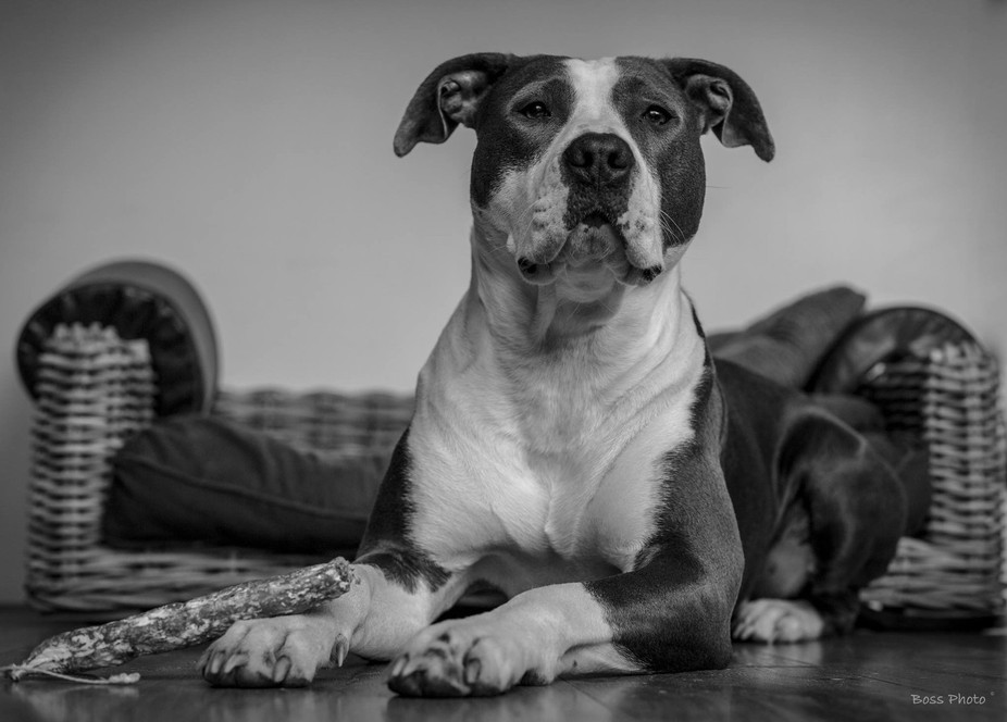 This Pitbull in rest modus, waiting for the command to eat. Focused and relaxed.