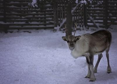 Reindeer Farm 0514