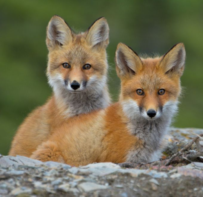 Fox Kits, Keno City, Yukon by susanlangguy - Social Exposure Photo Contest Vol 13