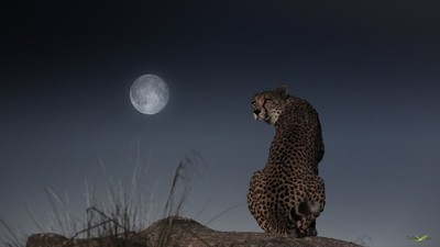 The Cheetah and the Moon