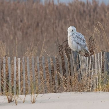 In the odyssey to finally see a snowy owl (in Delaware); one came, stayed and posed.  A lifetime shot for this bird enthusiast.