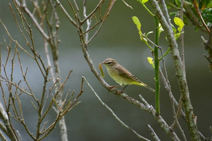 This was about two months ago, I believe one of the warblers and I caught it right in my backyard.  The day was bright and gorgeous and so was the little bird, for me, I was able to grasp all its beauty.