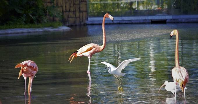 Flamingos are very beautiful birds and as you enter Zoo Miami they are the first birds you will see.  As a matter of fact even before you enter the park itself.  They have about thirty at the entrance and Ibises and at times ducks will be found there.