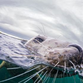 A curious Grey Seal comes up to say hello at the surface in the Farne Islands, UK