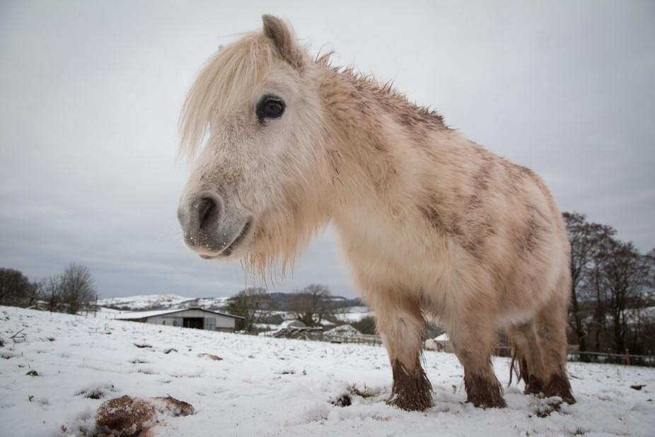 Mighty Silas the miniature shetland