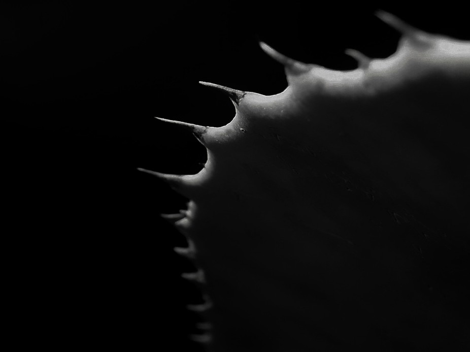 Cactus spines in b&w