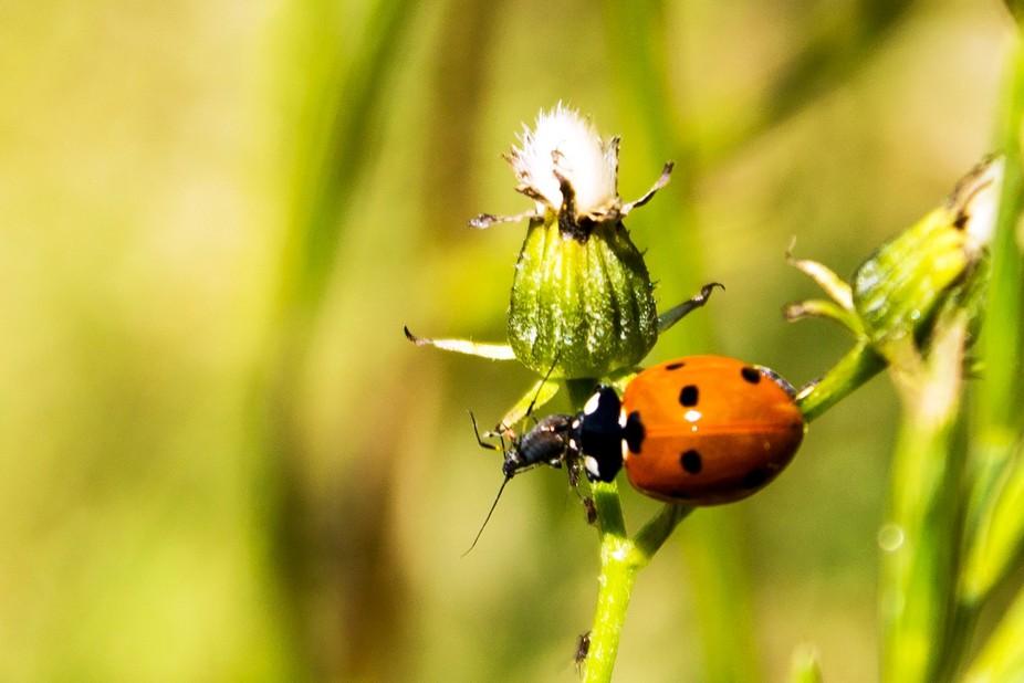 A ladybug eats an aphid