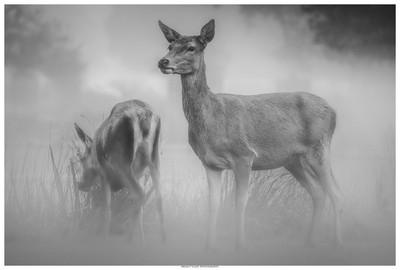 Deers In The Mist