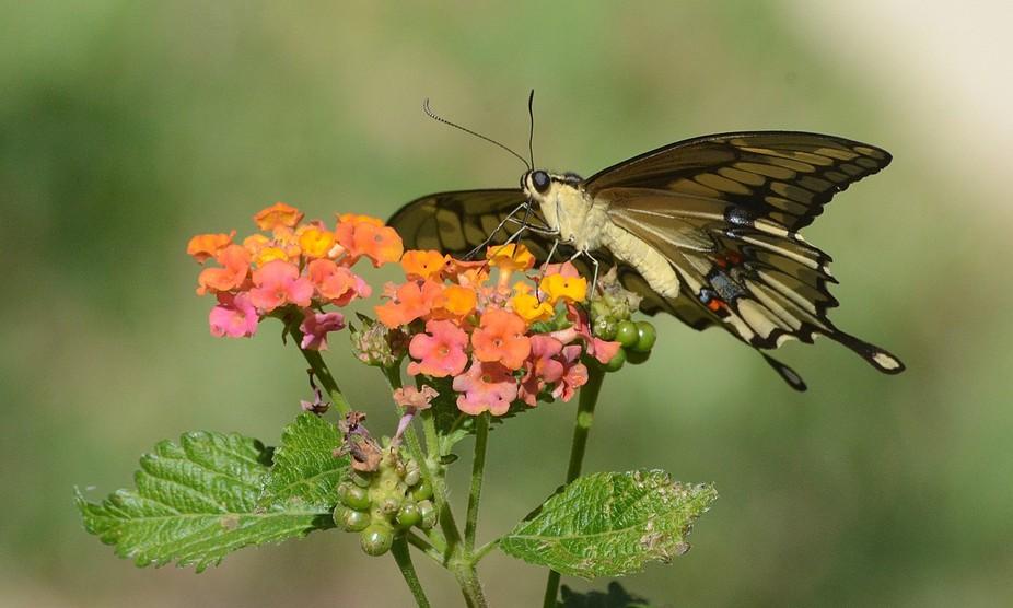 Gorgeous Swallowtail Butterfly on lantana flowers, Gruene, TX