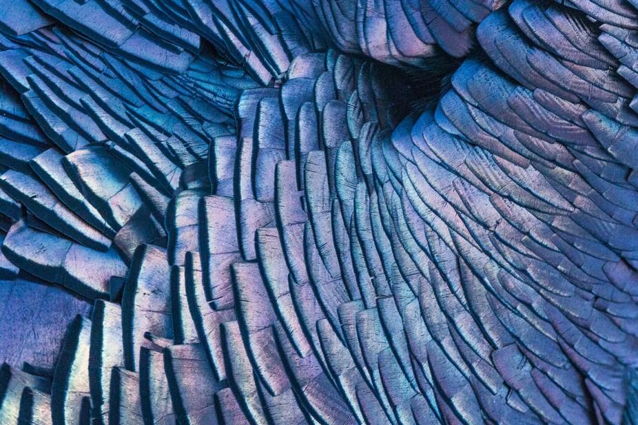 Wild Turkey feathers