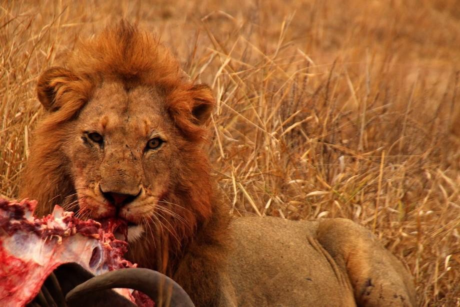 Young lion munching his way through a water Buffalo.