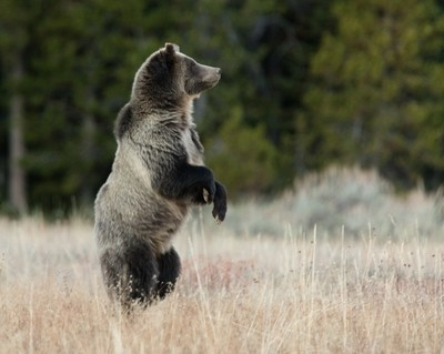 Female Grizzly Grand Teton National Park USA