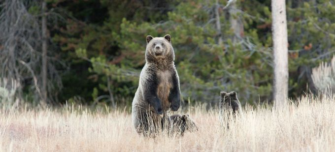 Grizzly on high alert by michelAlexander - Bears Photo Contest