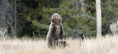 Grizzly on high alert