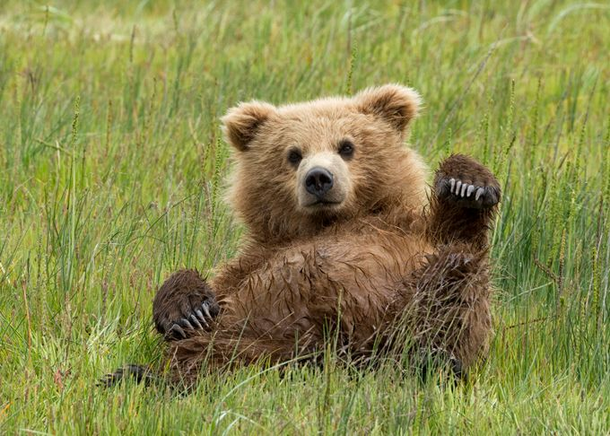 Just Chillin' by kathykuhn100 - Bears Photo Contest