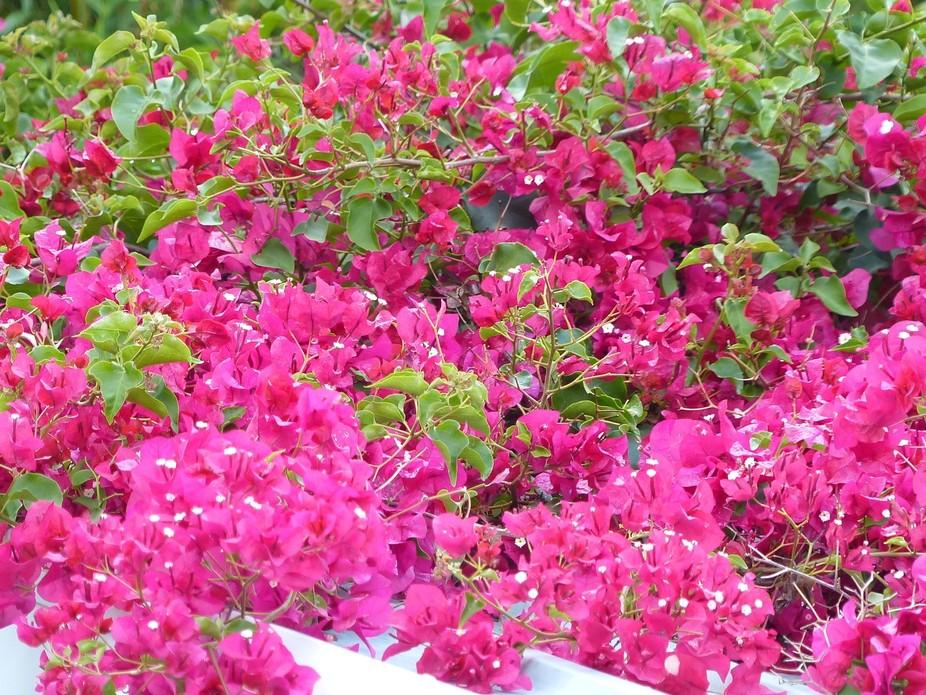 bougainvillea In Queensland