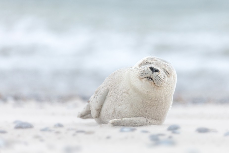 Seal Pup chilling on Dune Island in Germany