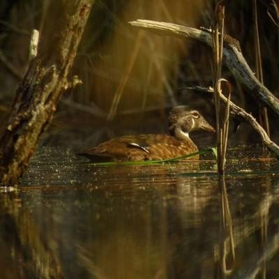 #TrailsEnd #woodduck #beaverpond #birding #wander #wetlands #woods #outthebackdoor #backyardnature #adk #newyorkstate #canon #pocket_birds #canon_photos #got_greatshots #worldofamateur #marvelouz_world #beautyinnature #beautyinwildlife #exploremoretoday #