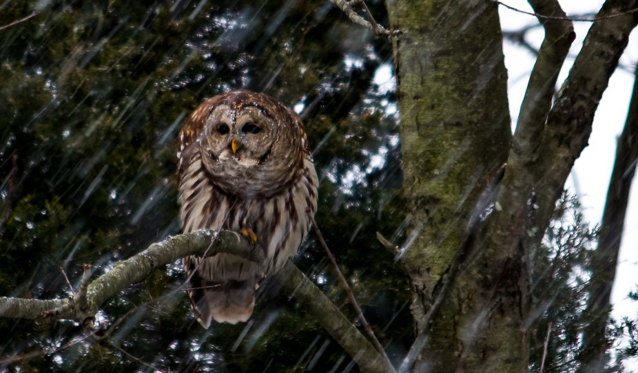 I have Barred Owls in my backyard. Over the past two years I have formed a weird relationship wit...
