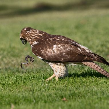 Red-tailed hawk with snake IMG_9578
