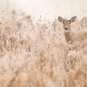 A young White Tail Doe blends in perfectly with the frost-bitten grass and thistles in a meadow on the edge of Lake Ontario.