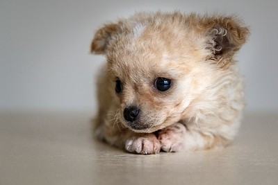 cute chihuahua puppy bored