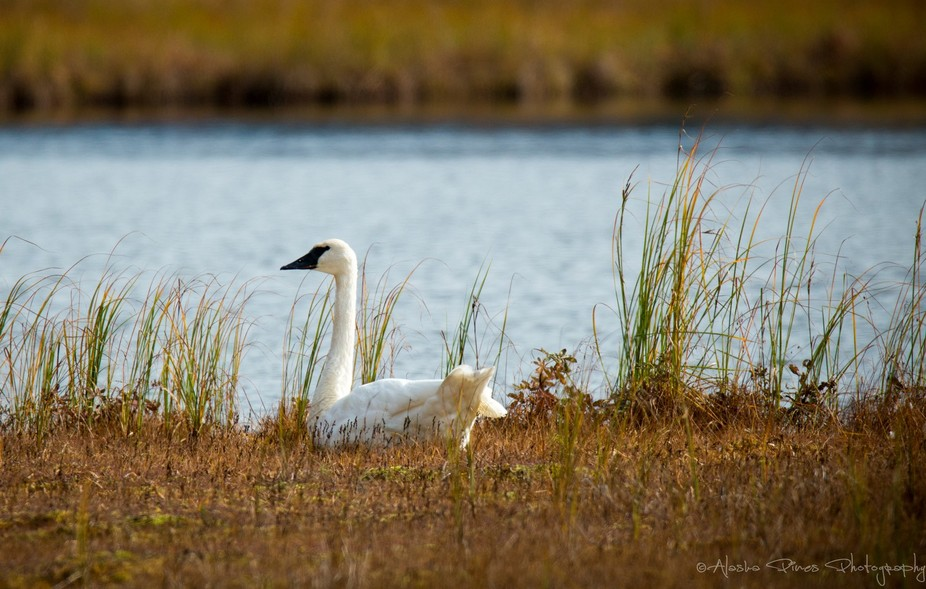 This swan was resting along the waters of Tern Lake, outside Moose Pass, Alaska.