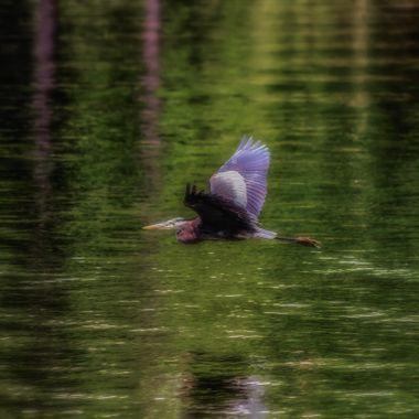 Great Blue Heron Over Water