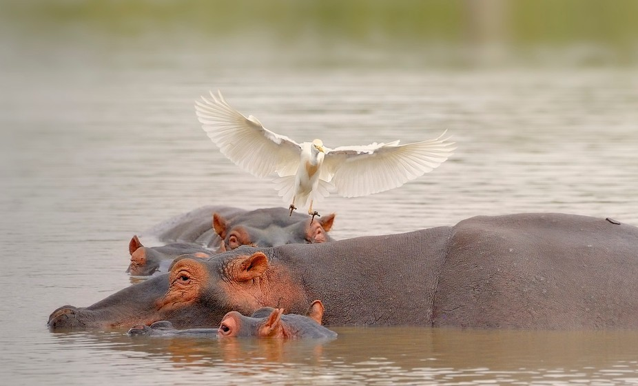 EGRET & HIPPOS
