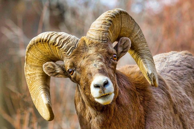 Bighorn by brucejnewman - Monthly Pro Vol 38 Photo Contest