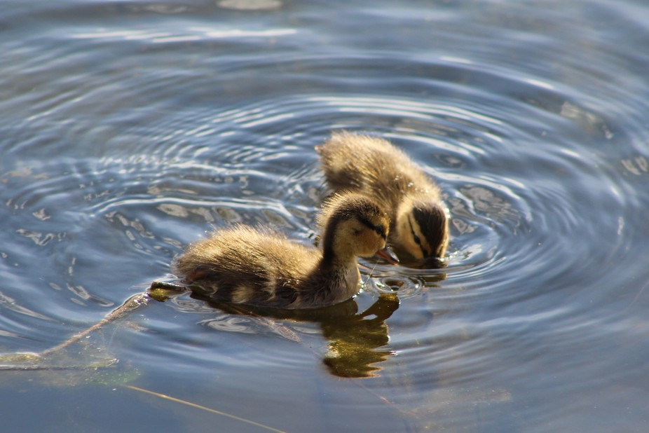 Ducklings in the pond!