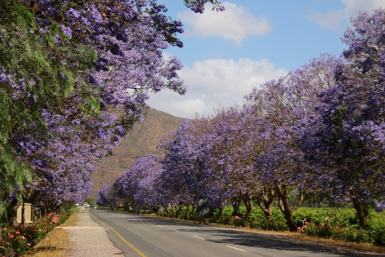 A lane of Jacaranda trees on the road between Robertson and Bonnievale in the Western Cape. South Africa.