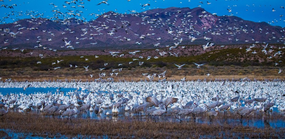 Thousands of Snow Geese fly in to the Crane Pond at Bosque Del Apache.