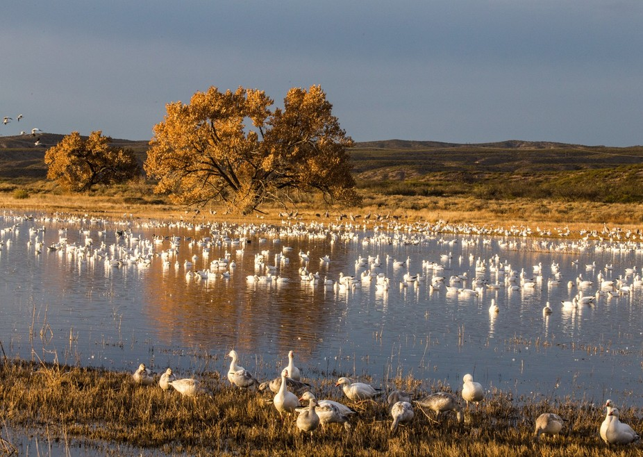 A group of Snow Geese on the Crane Pond before sunrise.