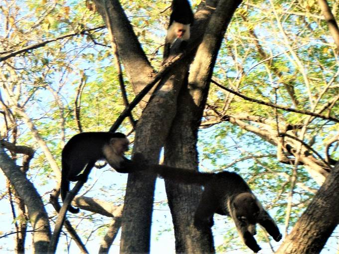 The Capuchin monkeys didn't like the Coatimundi (raccoon like animal) in their tree. They would run down and keep pulling it's tail until it left.
