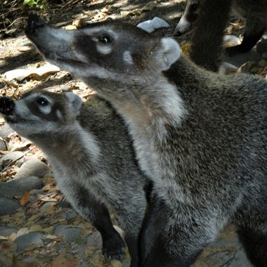 Mother and young Coatimundi (a raccoon like animal in Costa Rica) looking for a hand-out