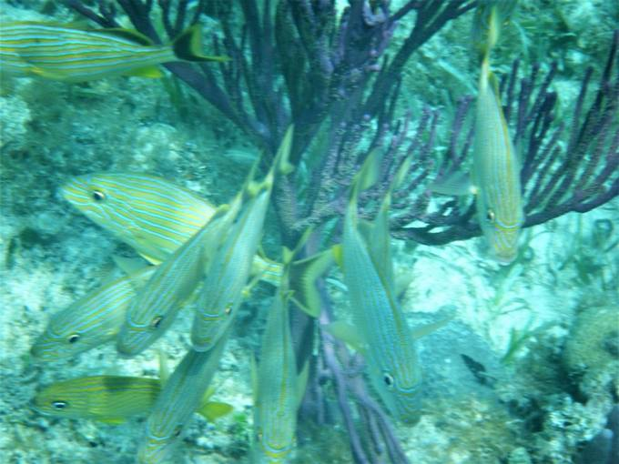 School of Blue Striped Grunts in front of purple coral Bahamas